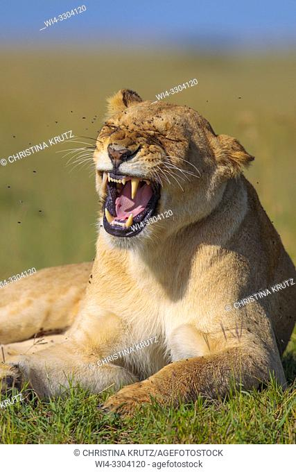 African Lion (Panthera leo), mouth open, Maasai Mara National Reserve, Kenya, Africa