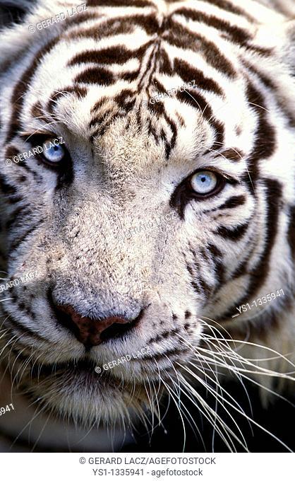 WHITE TIGER panthera tigris, HEAD CLOSE-UP OF ADULT