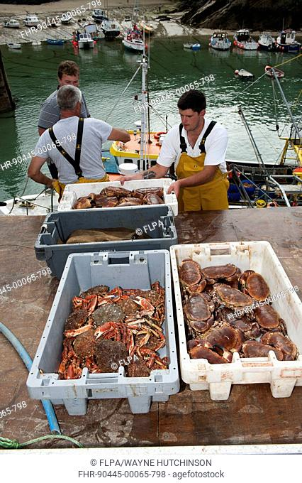 Crab fishing, fishermen landing Spiny Spider Crab (Maia squinado) and Edible Crab (Cancer pagurus) catch at harbour, Newquay, Cornwall, England, August