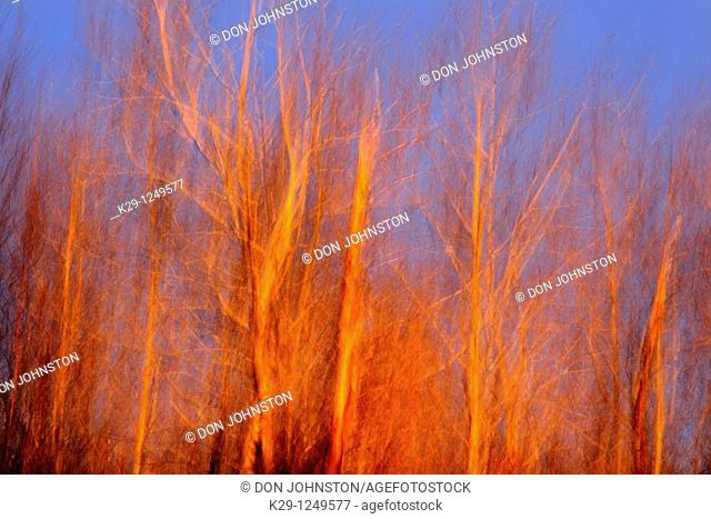 Evening light on trees in early spring Camera movement