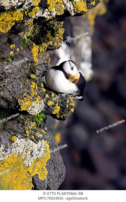 Horned Puffin (Fratercula corniculata) on cliff ledge covered with lichens, Pribilof Islands, Alaska