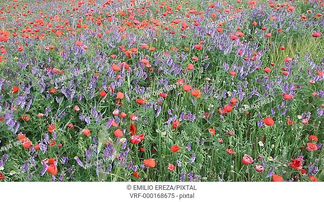 Wild flowers field. Lleida, Catalonia, Spain, Europe