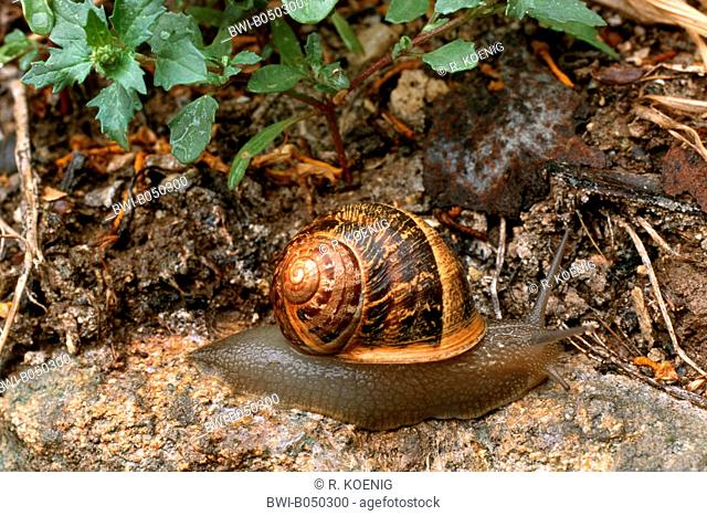 brown garden snail, brown gardensnail, common garden snail, European brown snail (Helix aspersa, Cornu aspersum, Cryptomphalus aspersus), on the ground