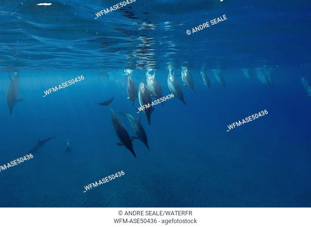 Spinner dolphins, Stenella longirostris, Big Island, Hawaii, USA