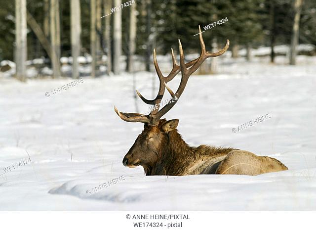 Elk lying down sleeping in snow, Banff NP