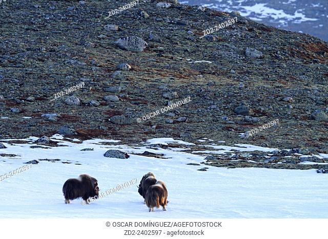 Muskox (Ovibus moschatus) group on habitat. Dovrefjell-Sunndalsfjella National Park. Norway