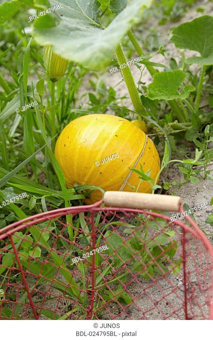 basket and yellow squash