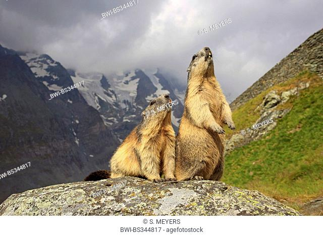 alpine marmot (Marmota marmota), two marmots sitting on a rock and looking up, Austria, Hohe Tauern National Park