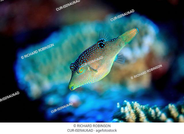 Underwater view of canthigaster solandri (solander's toby) at Palmerston Atoll, Cook Islands