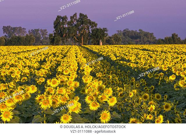 Sunflowers, like soldiers lined up for roll call, face towards the sunrise in the farmland of Yolo County, CA, USA
