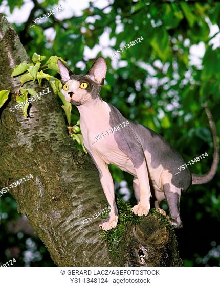 SPHYNX DOMESTIC CAT, FEMALE STANDING IN TREE