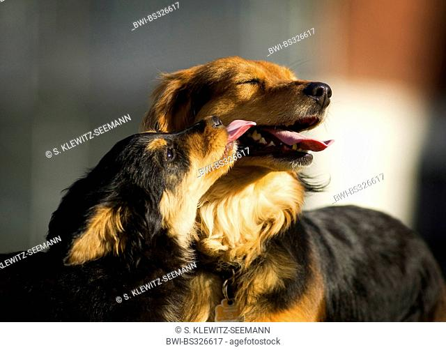 mixed breed dog (Canis lupus f. familiaris), whelp, mix breed dog of Old German Sheepdog and dachshund, licking the mouth of its mother, Germany