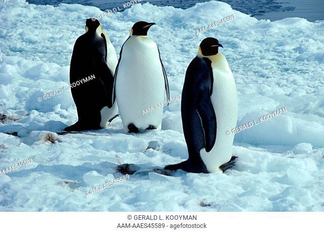Emperor Penguins (Aptenodytes forsteri) Cape Royds, Antarctica