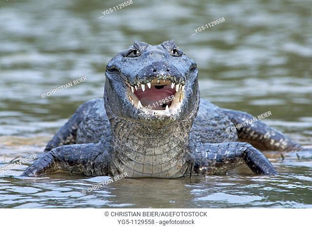 Yacare, Caiman, Caiman yacare, Pantanal, Mato Grosso, Brazil