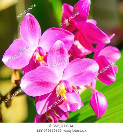 Ground orchid flower