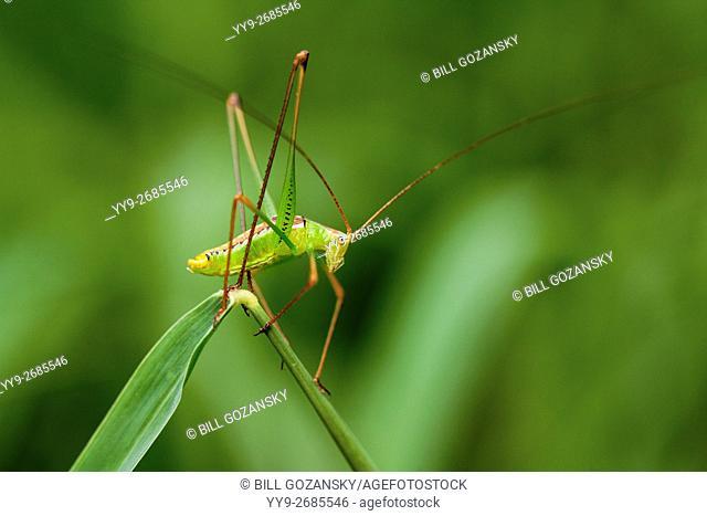 Green Bush Katydid Species - Camp Lula Sams - Brownsville, Texas USA