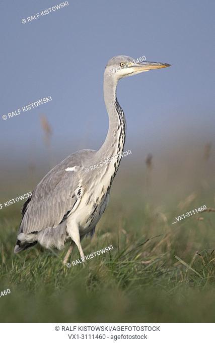 Grey Heron / Graureiher ( Ardea cinerea ), slowly walking through high grass of a meadow, hunting, close, nice side view, wildlife, Europe