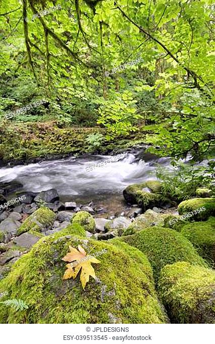Rushing Water with Fallen Maple Leaf Trees Moss Ferns and Rocks at Cedar Creek Washington State
