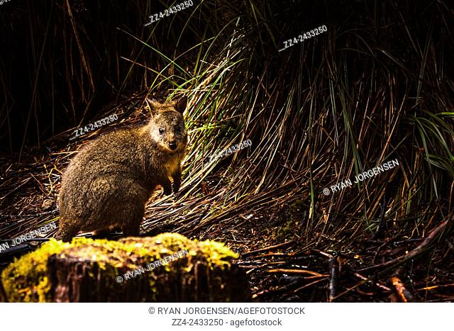Wildlife photograph of a small marsupial Pademelon [genus Thylogale] in thick Tasmania forest scrub. Australian marsupials