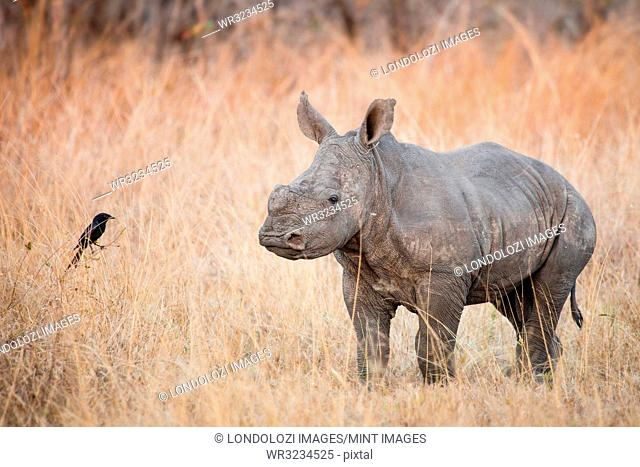 A rhino calf, Ceratotherium simum, stands in brown dry grass and looks at a fork-tailed drongo, Dicrurus adsimilis