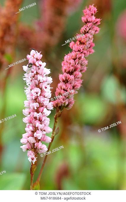 Persicaria affinis flowers close up England UK