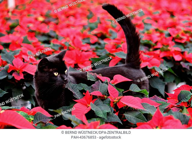Cat Elmo stands amid red Christmas stars in the greenhouse of the Nordflor horticulture company in Barth, Germany, 29 October 2013