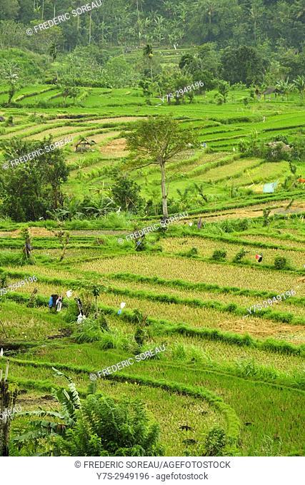 Terraced rice field, Bali, Indonesia, Southeast Asia