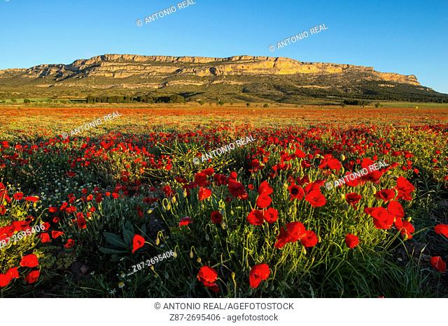 Field of poppies (Papaver roheas), Almansa, Albacete province, Castile La Mancha, Spain