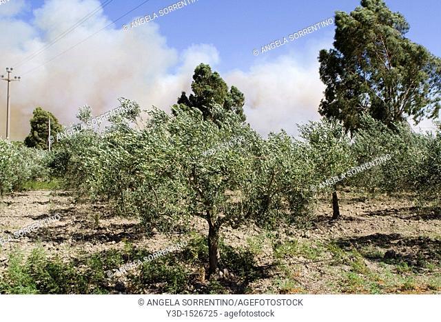Blaze over olive tree cultivation, Basilicata, Italy