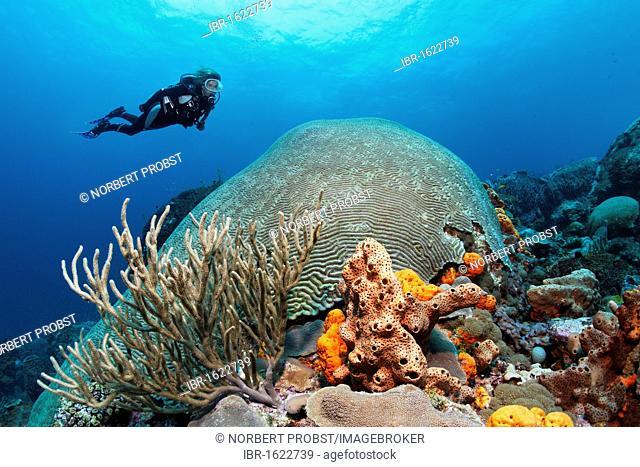 Diver hovering above a coral reef, looking at a Symmetric brain coral (Diploria strigosa), Little Tobago, Speyside, Trinidad and Tobago, Lesser Antilles