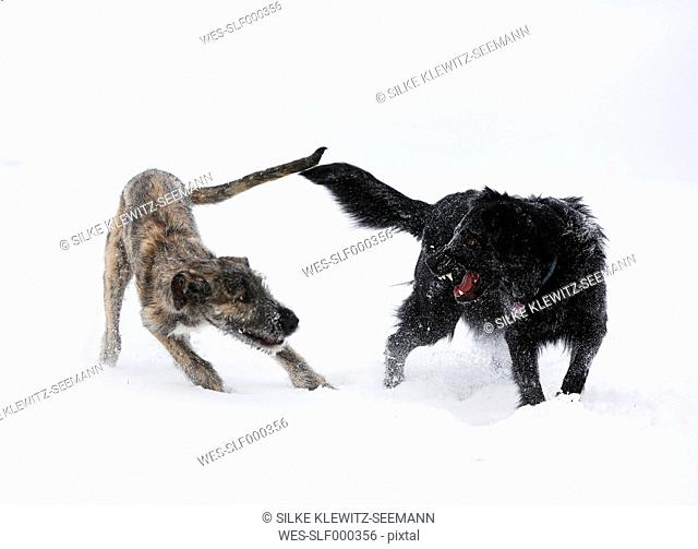 Irish Wolfhound puppy and black mongrel (Canis lupus familiaris) playing together on snow-covered meadow