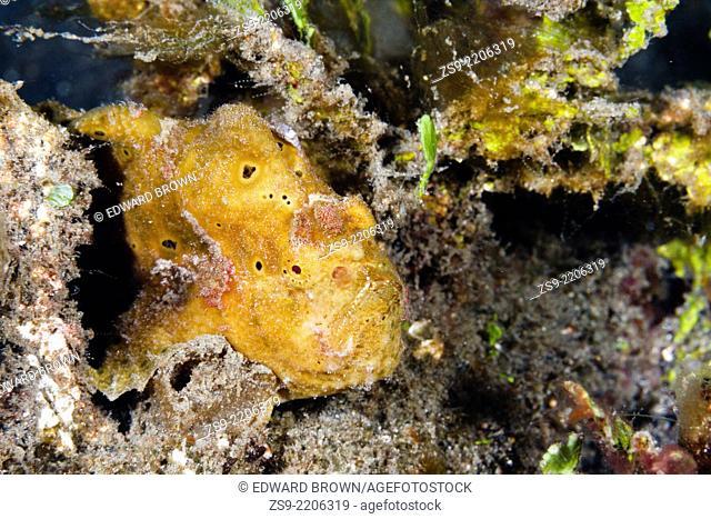 Painted frogfish - Antennarius pictus, Lembeh Strait, Indonesia