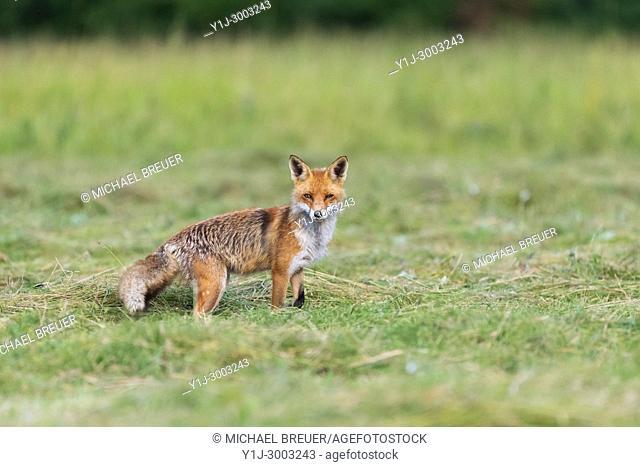 Red fox (Vulpes vulpes) on mowed meadow, Hesse, Germany, Europe