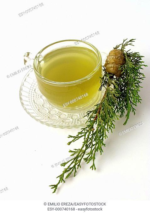 Mediterranean Cypress infusion Cupressus sempervirens