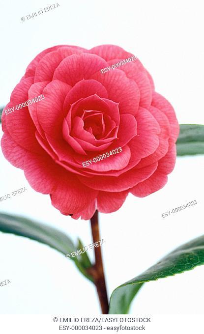 Camellia hybr