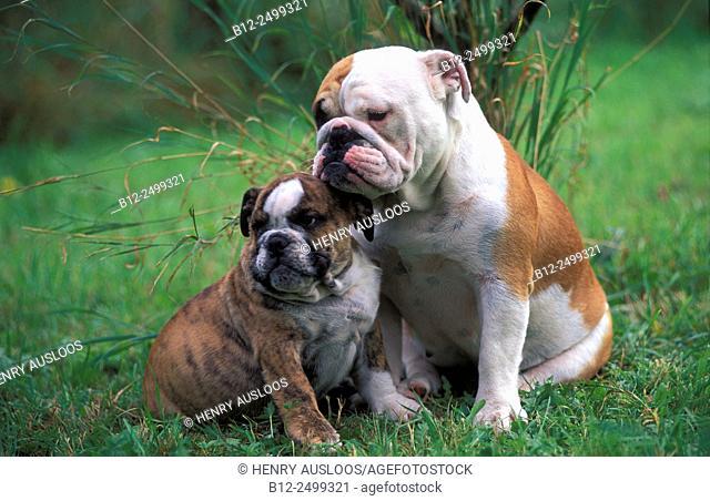 English Bulldog - Adult and pup (Canis familiaris)