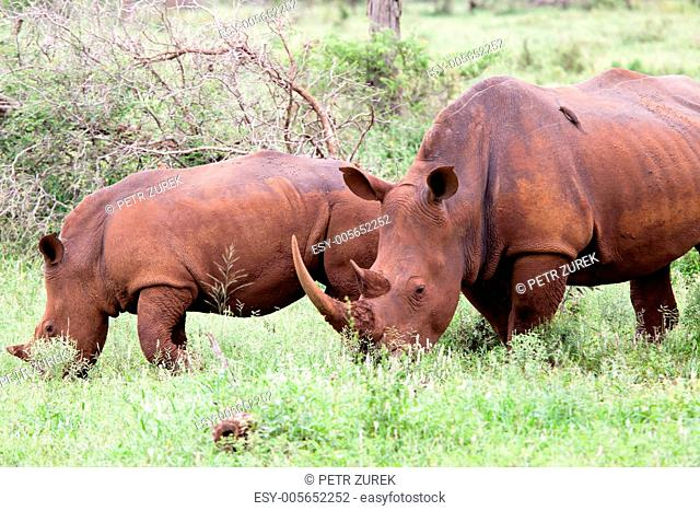 White rhinoceros family. South Africa, Kruger's National Park