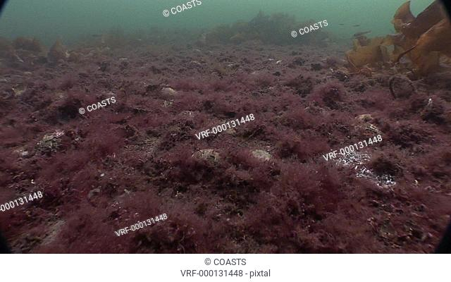 Sea bed with algae and broken shells after dredging. Conservation issue. Arran. Underwater, North Atlantic