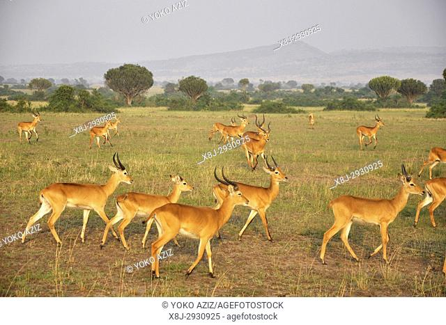Uganda, Queen Elizabeth National Park, Impalas