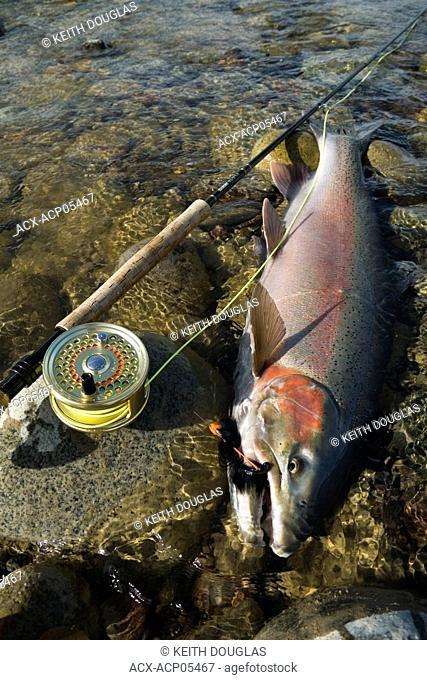 Male steelhead prior to release, Bulkley river, Smithers, British Columbia, Canada