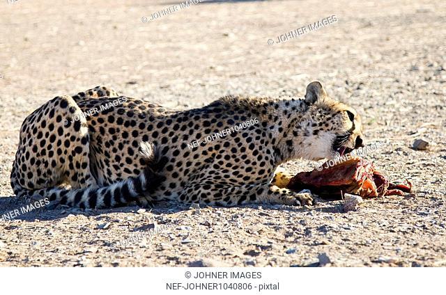Cheetah (Acinonyx jubatus) eating carcass