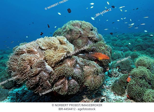 Overgrown coral, magnificent sea anemones (Heteractis magnifica), coral hind (Cephalopholis miniata), with cleaner wrasse, Lhaviyani Atoll, Maldives