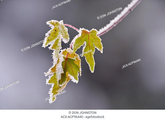 Frosted maple leaves (Acer spp), Greater Sudbury, Ontario, Canada