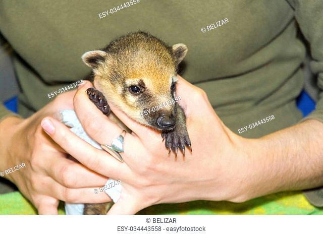 Very young South American coati (Nasua nasua) baby in hand