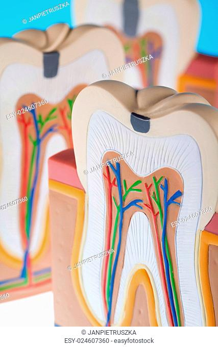 Tooth anatomy, bright colorful tone concept