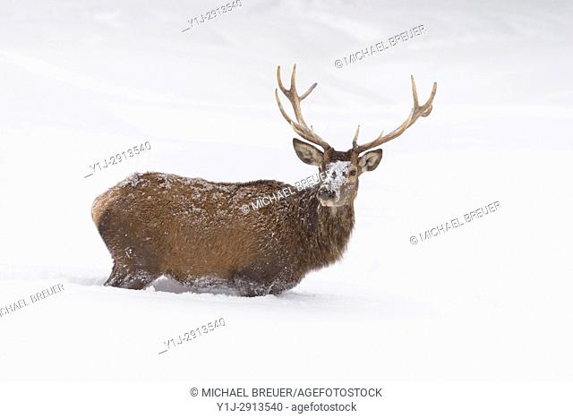 Red deer in Winter, Cervus elaphus, Bavaria, Germany, Europe