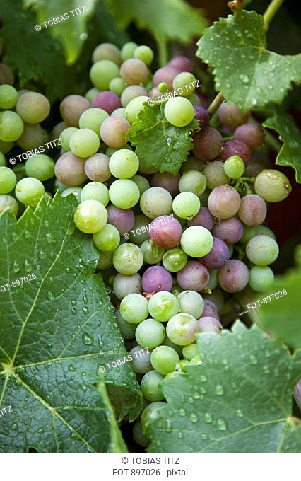Detail of grapes on a vine