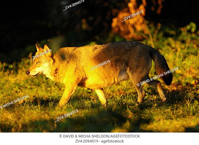 Close-up of a Eurasian wolf (Canis lupus lupus) at sunset in the Bavarian Forest, Germany