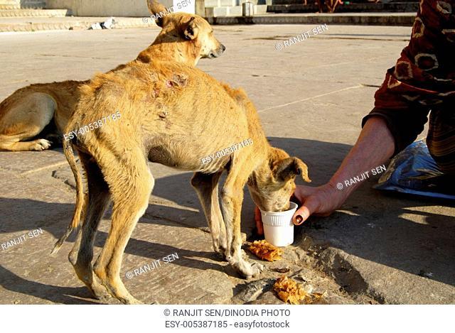 Feeding sick dog at Ganga Ghat ; Varanasi ; Uttar Pradesh ; India