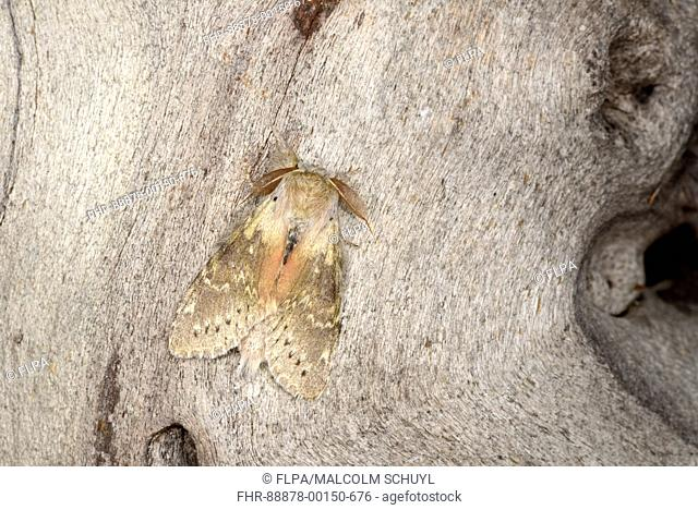 Lobster Moth (Stauropus fagi) adult male at rest on tree trunk, Monmouth, Wales, May